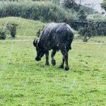 台湾陽明山の牛