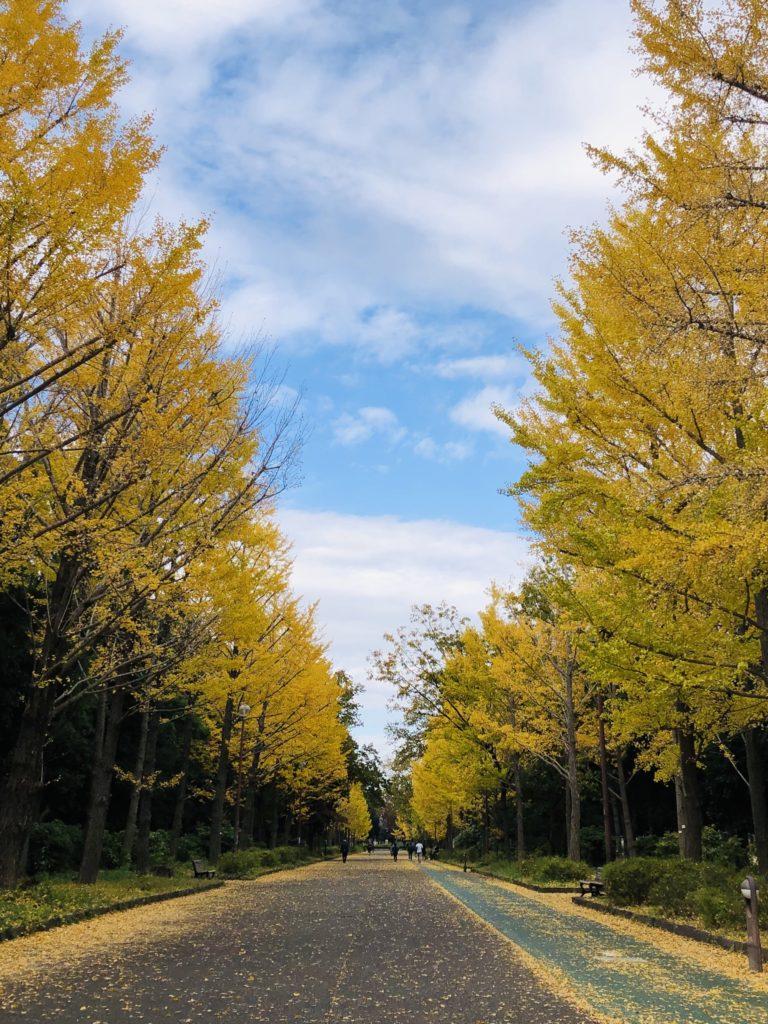 「自分らしさ輝く、黄金のビクトリーロード」Photo by Yasuyo Watanabe,埼玉県所沢市,November 2018